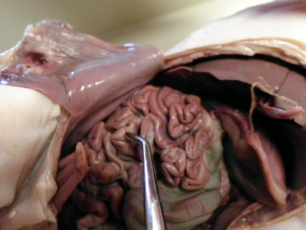 Small Intestine Dissection Of A Fetal Pig