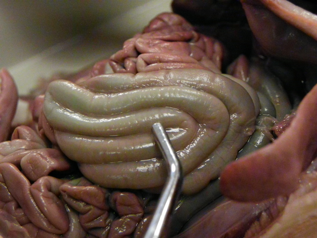 small intestine Find out how nutrients from your food are absorbed through the lining of your small intestine into your blood.